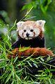 Red Panda (20613465262).jpg