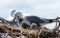 Red billed gull and chick. (8064358094).jpg