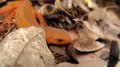 Red eft hiding among leaves (6014075101).png