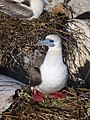 Red footed booby (14551739975).jpg