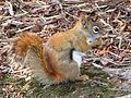 Red squirrel with nut.jpg