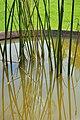 Reeds (3982443334).jpg