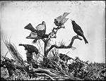 Regent Birds (4903245749).jpg