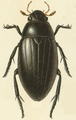 Reitter-1908 table79 Hydrophilus aterrimus.png