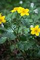 Rentukka - Caltha palustris.jpg