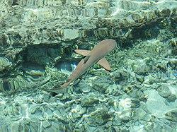 Requin pointe noire.JPG