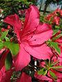 Rhododendron 'Ernst Thiers' 05.JPG
