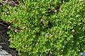 Rhododendron campylogynum 01.jpg