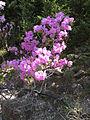 Rhododendron mucronulatum5.jpg