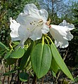 Rhododendron wightii 02.jpg