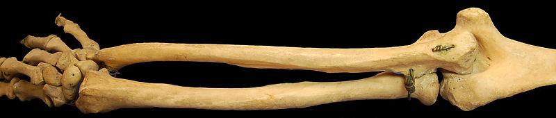 knogler i kroppen antal