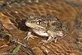 Rio Grande Leopard Frog Quinta Mazatlan McAllen TX 2018-03-02 09-30-36-2 (40623893501).jpg