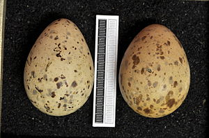 Black-legged kittiwake - Eggs, Collection Museum Wiesbaden