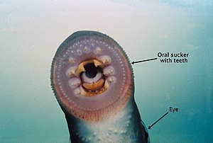 European river lamprey - Image: River lamprey mouth labelled