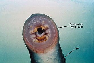European river lamprey - Image: River lamprey mouth labelled