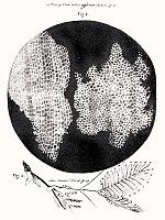 உலகைப் புரட்டிப் போட்ட 100 அறிவியல் கண்டுபிடிப்புகள் 150px-RobertHookeMicrographia1665