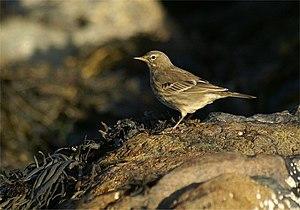 English: Rock Pipit (Anthus petrosus), Norwick...