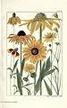 Rocky mountain flowers (Plate 39) (6280210192).jpg