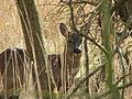 Roe Deer - geograph.org.uk - 155796.jpg