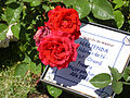 Rosa 'ORAdal' Orard 1998 RPO.jpg