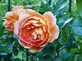 Rosa 'Pat Austin' 2017 4.jpg