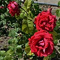 "Rosa ""Imperator"" o MEIperator. 01.jpg"