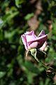Rosa Lady X - Francia 1966 (11982183215) (2).jpg