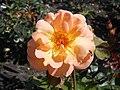Rosa Rosemary Harkness 2018-07-16 6761.jpg