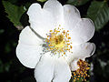 Rosa pouzinii Closeup2 SierraNevada.jpg