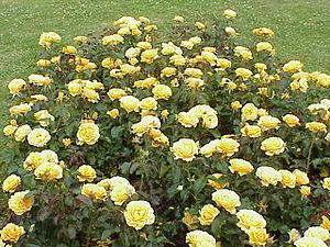 Rosa sp.31.jpg