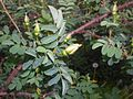 Rosa spinosissima 2016-05-17 0654.jpg