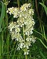 Rosaceae - Filipendula vulgaris-1 (8303629717).jpg