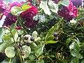 Rosales - Rosa cultivars - 31.jpg
