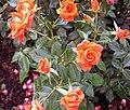 Rose Bengali.jpg