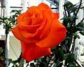 Rose Flower in Nepal.jpg