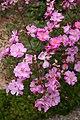 Rose Lavender Dream 20070601.jpg