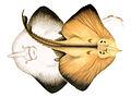 Rostroraja alba.jpg