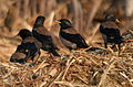 Rosy Starling (Sturnus roseus) near Hyderabad W3 IMG 4832.jpg
