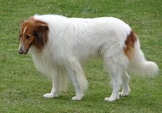 Rough Collie - In the 18th century, the Collie's natural home was in the highlands of Scotland