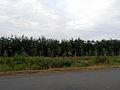 Rubber plantation Cambodia 2014.jpg
