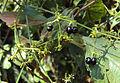 Rubia Cordifolia 14.JPG