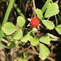 Rubus parvifolius (fruits s2).JPG