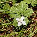 Rubus pedatus (flower s4).jpg