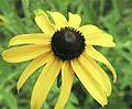 Rudbeckia hirta BLACK-EYED SUSAN (4681830771).jpg