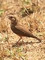 Rufus tailed lark by David Raju (cropped).jpg