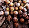 Rumbia buah (M sago).JPG