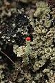 Rursee 14.04.2017 Cladonia floerkeana (34164735141).jpg