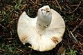 Russula.vesca2.-.lindsey.jpg