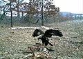 SK - Golden Eagle caught on camera (5445071683).jpg