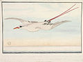 SLNSW 823152 f101 RedTailed Tropic Bird Phaethjon rubricauda.jpg
